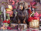 purebred miniature dachshund dog poster