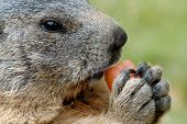 Marmot Eating A Carrot