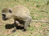 Mother Vervet Monkey