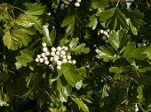 Hawthorn Blossom Buds