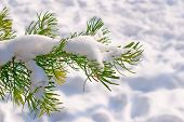 stock photo of pine cone  - Conifer tree covered with snow on winter day - JPG