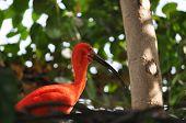 pic of scarlet ibis  - Scarlet Ibis  - JPG