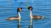 pic of crested duck  - Couple of two great crested grebe in front of each other and floating on blue water of lake of Geneva Switzerland - JPG