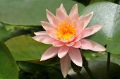 pic of hydrophytes  - Closeup of shining pink water lily on green background - JPG