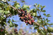 Wild Irish Blackberries