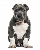 American Bully puppy sitting, isolated on white poster