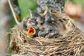 Nest Of Thrush With Hungry Chicks. Closeup Baby Bird With An Orange Beak. Nestling Song Thrush poster
