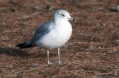 Sea Gull 4061