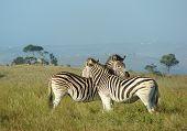 Zebra Comfort