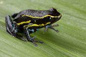 poison dart frog black with yellow lines and blue belly Hyloxalus azureiventris poisonous animal of amazon rainforest Peru