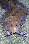 Aeolid Nudibranch