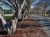 stock photo of crepe myrtle  - a driveway lines with crepe myrtle trees - JPG