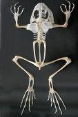 Squeleton Frog