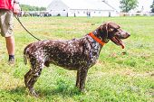 The German Shorthaired Pointer  With The Host While Strolling In The Stadium. Morning Walk With A Do poster
