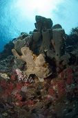 Giant Frogfish by Sponge
