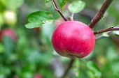 Fresh Red Apples On Apple Tree Branch. Red Apples On Apple Tree Branch poster