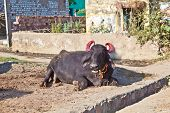 Cow In The Village