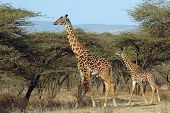 Mother And Baby Giraffe Amongst Acacia Trees