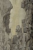 Tree Trunk With Bark Pealing Background