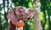 Portrait Of Dog Breed German Shorthaired Pointer Close-up In Profile poster