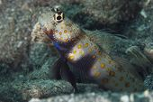 Spotted Shrimpgoby