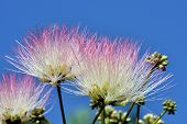 Exotic Pink Flowers Of Acacia (albizzia Julibrissin) Also Known As Pink Silk. This Mimosa Trees Have poster