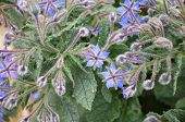 Close-up Of A Small Bush Of Borago Officinalis, The Starflower, With Blue Blossoms And Hairy Leaves  poster