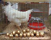 hen in hutch on rural market