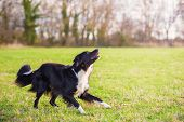 Playful Full Length Purebred Border Collie Dog Funny Face Expression Playing Outdoors In The City Pa poster
