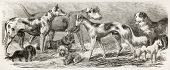 image of quadruped  - Dogs exposition old illustration - JPG