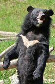 this is asiatic black bear in zoo