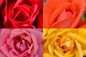 4 Colors Roses