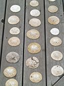 stock photo of sanddollar  - A Bunch of Sand Dollars on a Wooden Board - JPG