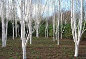 pic of anglesey  - Birches in the winter garden at  Anglesey Abbey - JPG