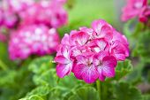 Pink bicolor geraniums in the home garden.