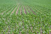 picture of zea  - Young corn field with growing leaves - JPG