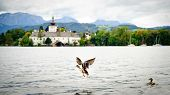 Flying Duck on the Lake