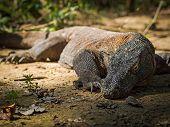 Komodo Dragon in Its Natural Habitat