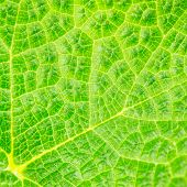 Fresh Leaf Macro Background
