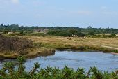 stock photo of marshlands  - Cattle graze in the distance - JPG