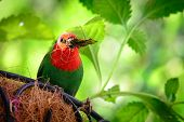 Parrotfinch