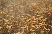 picture of sagebrush  - Field of dry sagebrush in autumn colors - JPG