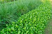 Chinese Kale And Vetiver Grass