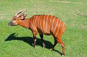Antelope Bongo