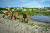 Three wild horses grazing in the sand dunes