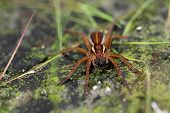 Female Great Fen Raft Spider (Dolomedes plantarius)