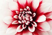 close-ups of lovely dahlia - flowers and plants
