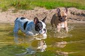 French bulldogs at the lake