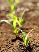 Young Corn Crops Stalk