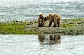 Two brown bears cubs playing
